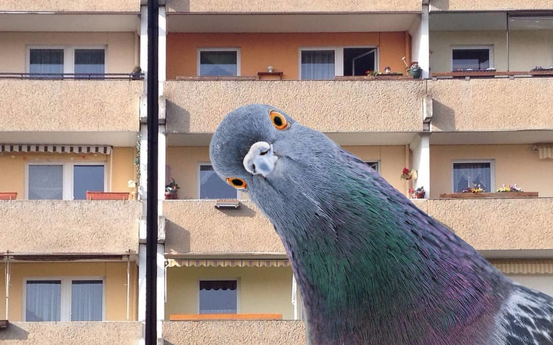 Tauben in der Grundbachsiedlung